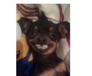 chihuahua, teeth, and relatable image