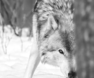 animals, snow, and wolf image