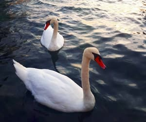 aesthetic, birds, and swans image