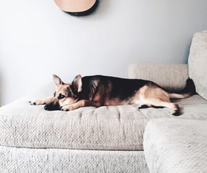 adorable, couch, and german shepherd image