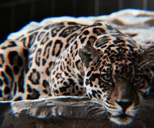 theme, leopard, and photography image