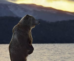 animals, bears, and wildlife photography image