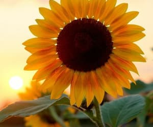 sunflower, flowers, and flores image