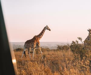 animal, giraffe, and photography image