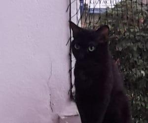 animal, blackcat, and animals image