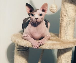 cat, sphynx, and cat love image