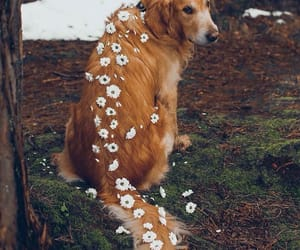 golden, retrievers, and white image