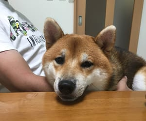 dog, inu, and japan image