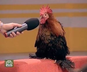 Chicken, interview, and meme image