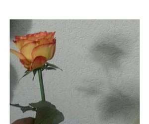 flower, pictures, and orange rose image