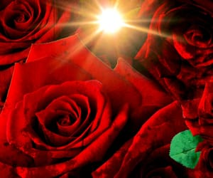 red, rose, and red rose image