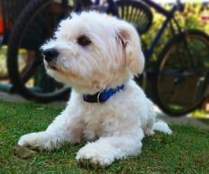 dog, maltese, and cool dog image