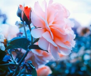 beauty, flor, and rosa image