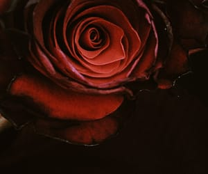 elegance, nature, and red rose image