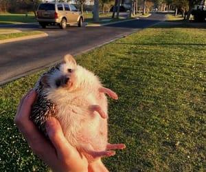 animals, hedgehog, and pet image