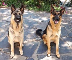 beauty, dogs, and german shepherd image