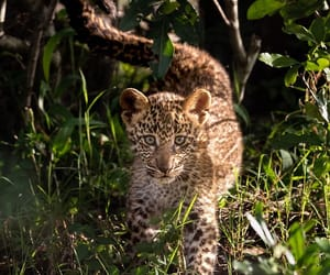 Animales, belleza, and leopardo image