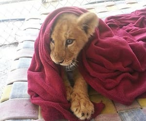 lion, baby, and animal image