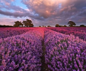 flowers, lavender, and nature image