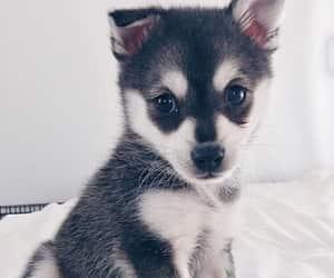 animals, husky, and puppy image
