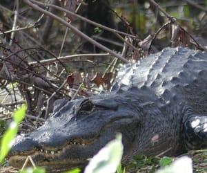 alligator, wildlife, and flroida image