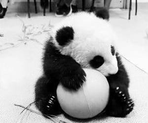 black and white and panda image