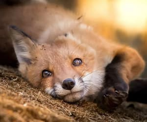 fox, animal, and butterfly image