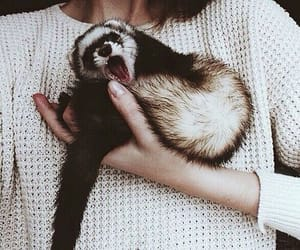 animal and ferret image