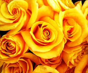 yellow roses image
