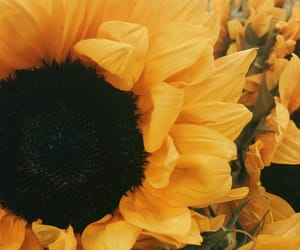 sunflowers and iphonephotography image