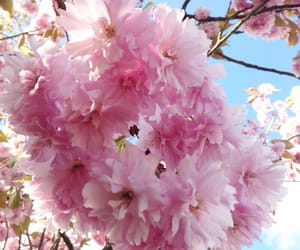cherry blossom, pink, and spring image
