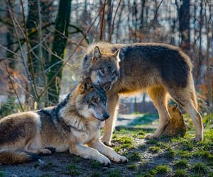 animals, nature, and wolf image