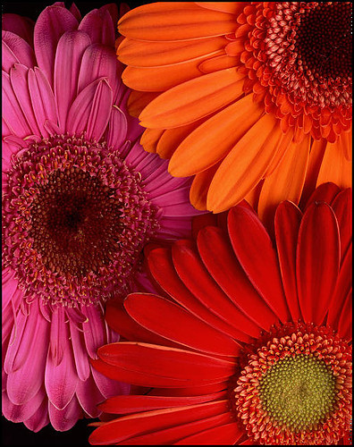 Picture pink red and orange gerbera dasies picture on visualizeus mightylinksfo
