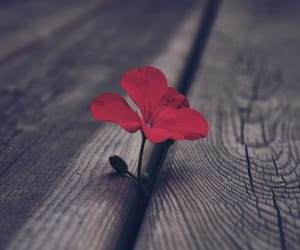 flowers, red, and photography image