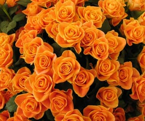 orange, rose, and flowers image