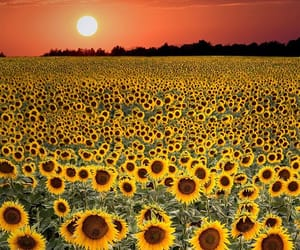 flower field, sunflowers, and flowers image