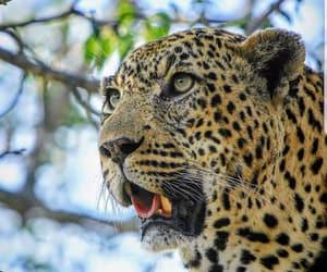leopardo image