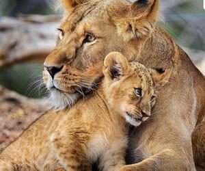 baby lion and leona image