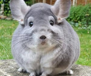 animals, cute, and Chinchilla image
