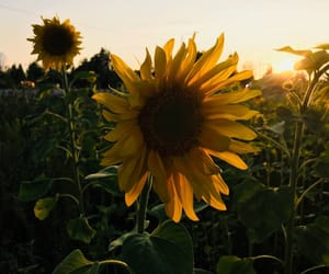 flower, nature, and sunflower image