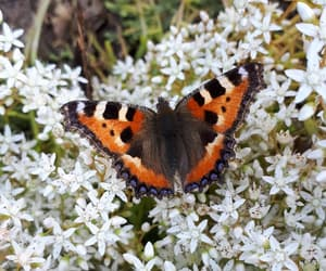 butterfly, white flowers, and orange butterfly image