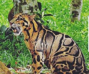 leopardo nublado image