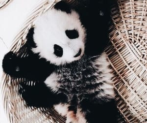 black, panda, and black and white image
