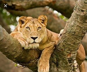 lion, tree climbing, and lioness image