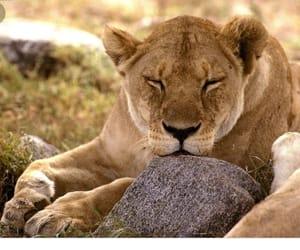 descansando, lioness, and resting image