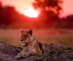 animals, lions, and nature image