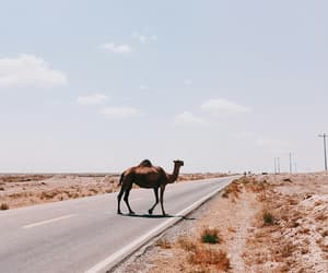 animal, camel, and desert image
