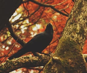 animal, raven, and autumn image