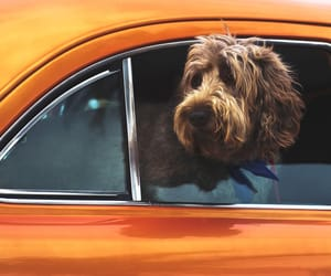 animals, car, and dog image
