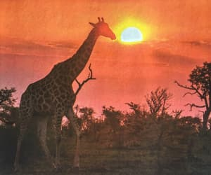 africa, colorful, and giraffe image